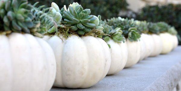 Mini white succulent pumpkin as Thanksgiving centerpieces.