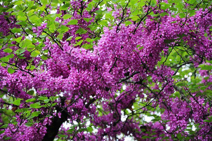 Δέντρο του Ιούδα - Κουτσουπιά (Cercis siliquastrum)