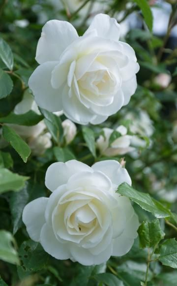 Die meisten Rosen blühen nur in den Sommermonaten. Diese Rosensorten zeichnen sich durch besonders lange Blütezeiten aus und sorgen deshalb auch im Herbstgarten noch für Farbe. – Strauchrose 'Schneewittchen'