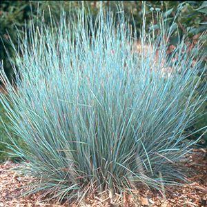 Little bluestem ornamental grass garden pinterest for Decorative grasses full sun