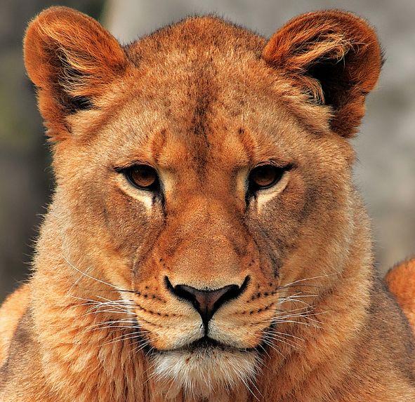 THAT lioness face. | Lions | Pinterest | Faces