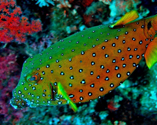 14 best images about boxfish on pinterest horns phi phi for Red sea fish