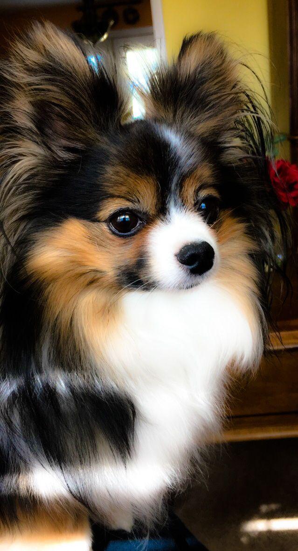 My Papillon Girl Tessa Papillion Dog
