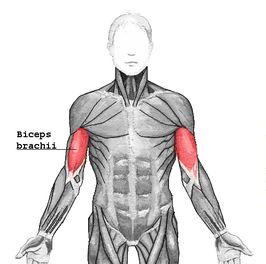 biceps brachii - Google zoeken