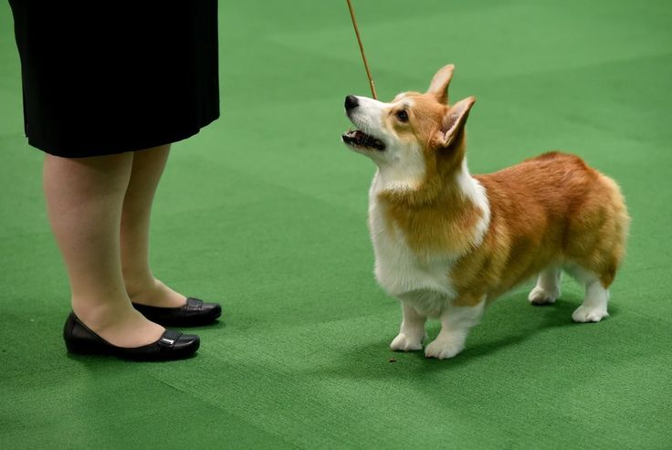 Pembroke Welsh Corgi, Westminster Dog Show. I'm wondering if this is my neighbor Anne Bowes' dog - she had two there, one of whom won best of breed! That doesn't look like Anne (what we can see), but she had someone else showing the second one.