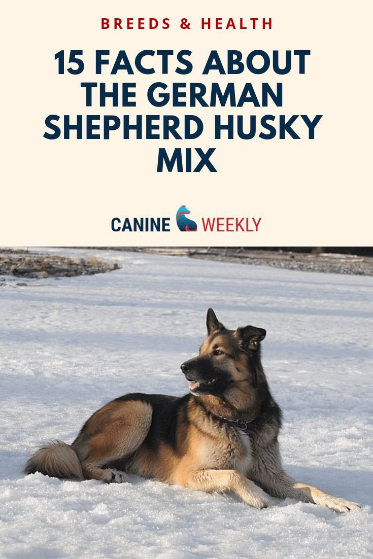 15 Important Facts About The German Shepherd Husky Mix German