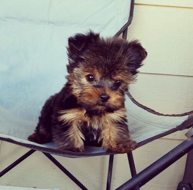 Yorkshire Terrier puppy for sale in LOS ANGELES, CA. ADN