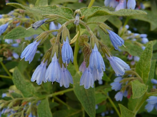 Comfrey brings bees into the garden and makes an excellent companion plant.     Comfrey is a good source of nitrogen, potassium and phosph...