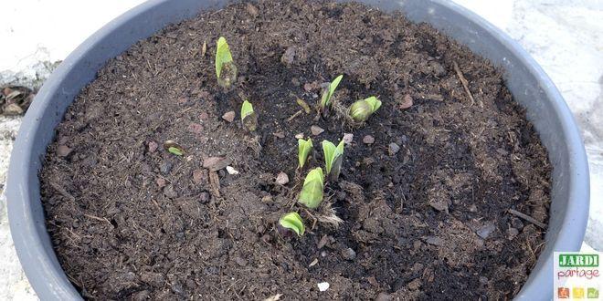 L'agapanthe est frileuse. Il vaut donc mieux la cultiver en pot dans les régions fraiches. Comment la planter en pot ?