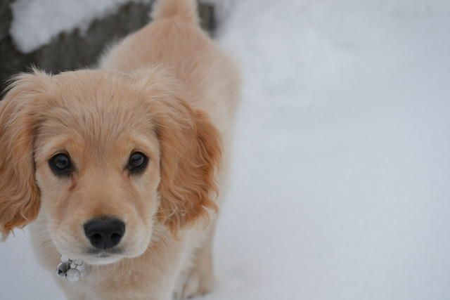 Petite Golden Retriever: cocker spaniel + golden retriever = super cute!