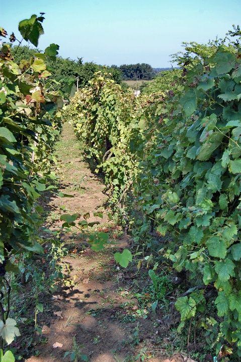 Vinohrady - Tokaj