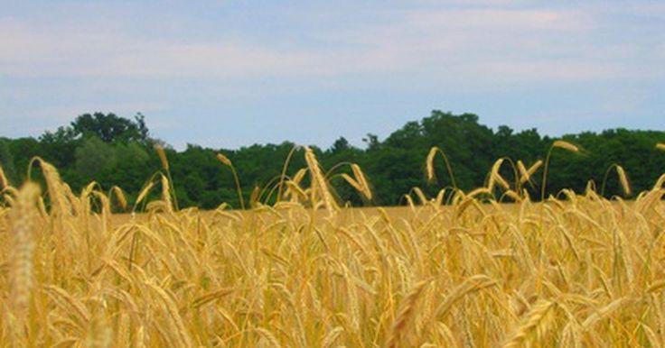 ¿Qué máquinas se utilizan para cosechar trigo?. La cosecha de trigo es un proceso intensivo que implica una planificación cuidadosa, habilidad y uso de maquinaria avanzada. Los panes, cereales, galletas y productos de panadería que disfrutamos a diario son el resultado de una exitosa cosecha de trigo. Con la ayuda de avances tecnológicos en el campo de la maquinaria para agricultura, la gente ...