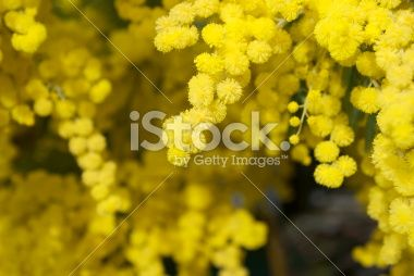 Wattle Bloom in Differential Focus Royalty Free Stock Photo