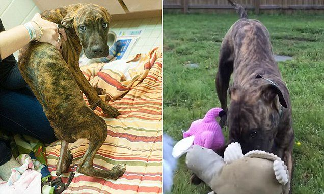 Flint the dog runs and plays after being starved for months
