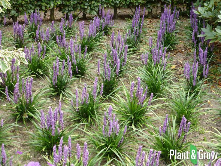 17 beste idee n over siergrassen op pinterest vaste planten paarse planten en schaduwplanten. Black Bedroom Furniture Sets. Home Design Ideas