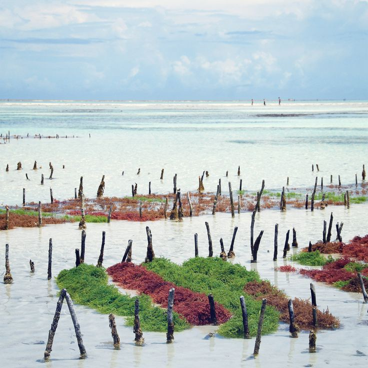 Seaweed has become an important export commodity for the island of #Zanzibar.