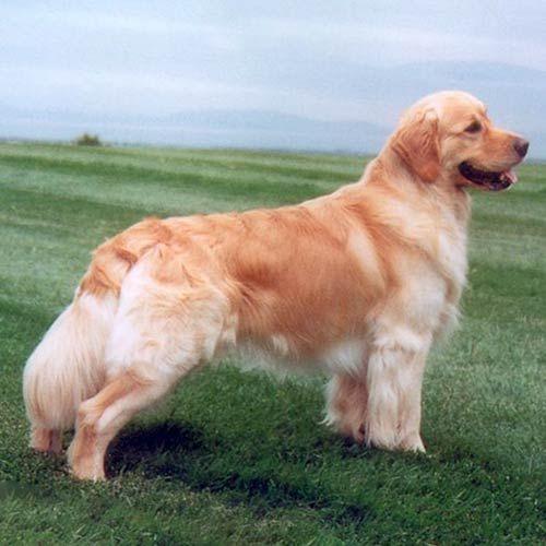Golden Retriever Dog Breed Information Dogs Golden Retriever