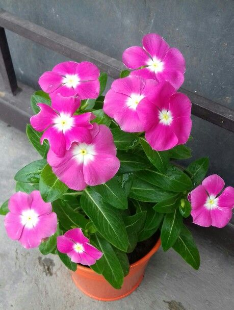 Pink Vinca Flower, one of my fave flower.