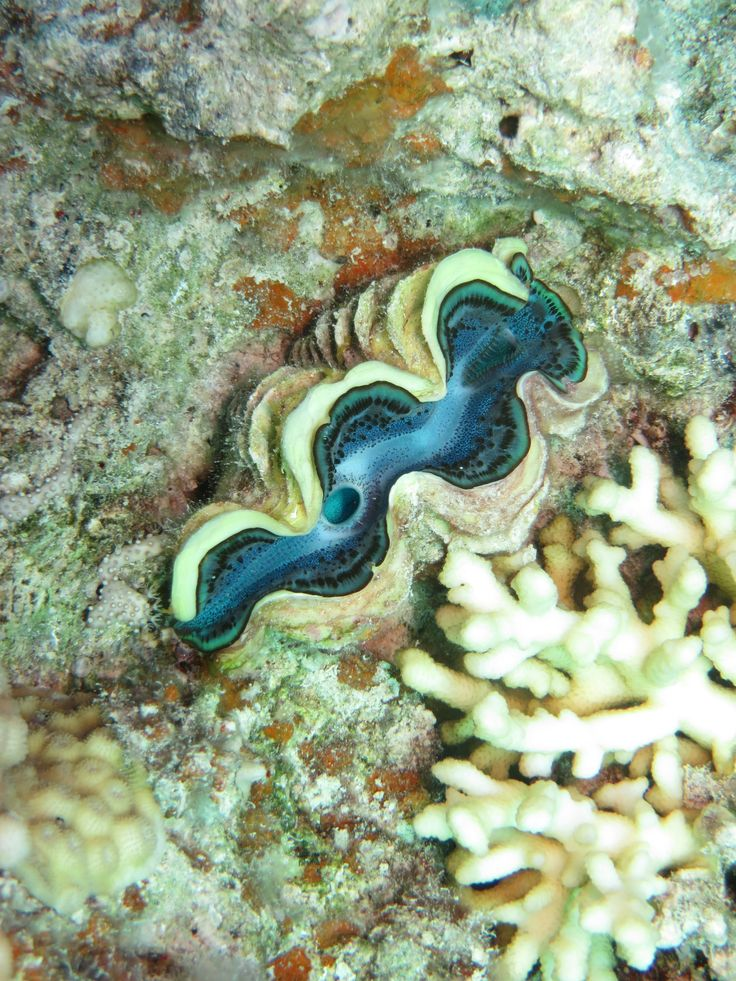 Another beautiful giant clam