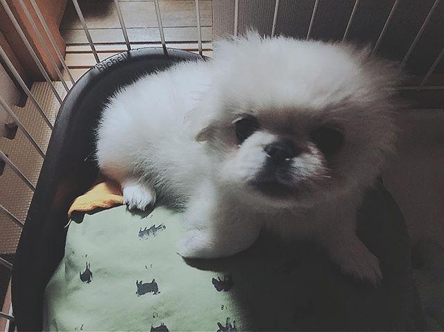 🐾 : : 今日は おともだちのお家で コーギーのクゥちゃんに会って : とってもいい子* ( *ˊ ˋ) *◌ おりこうさんだった〜 : おもちも 大きくなったら あんなおりこうさんに なってほしいなっ まずは パパとママと頑張って 手足を噛まない子になろうね 😂笑 : : : #ペキニーズ #愛犬 #家族 #おもち #天使 #子犬 #犬 #日本 #もふもふ #ふわもふ部 #可愛い #動物 #親バカ #溺愛 #pekingese #dog #omochi #angel #littledog #cute #animal #family