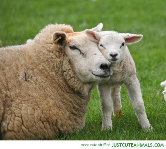 SWEDEN: Mother sheep by Davide Seddio   Welcome to sweden