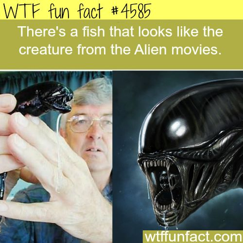 Fish that look like the creature from the Alien movies - WTF fun facts