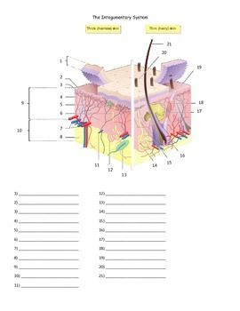 Quiz or worksheet over the parts of the integumentary system for Anatomy. An answer key and word bank is included.