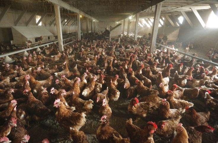 U.S. confirms avian influenza in Tennessee chicken flock