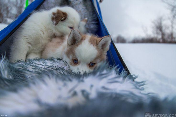 Фото сибирские хаски в упряжке | Фото хаски и маламуты