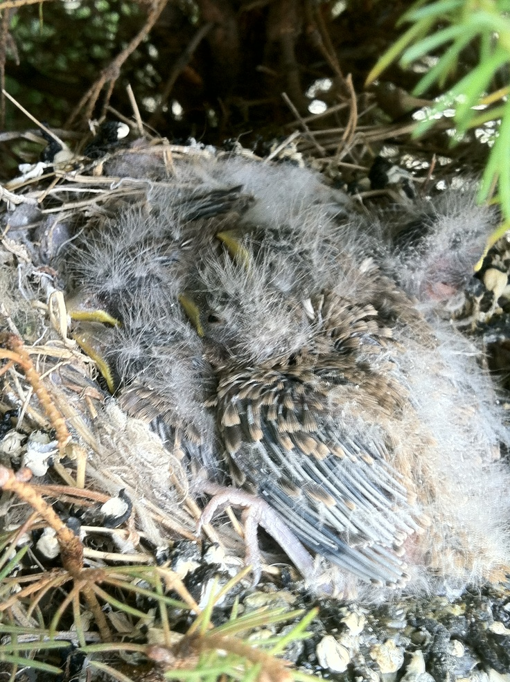 Day 12 of birds hatching. I'm so impressed with this small bird who manages to feed 5 baby birds. They are growing fast and healthy and I can see wings and feathers.