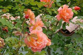 Rose Westerland, Garden Wall, Salmon