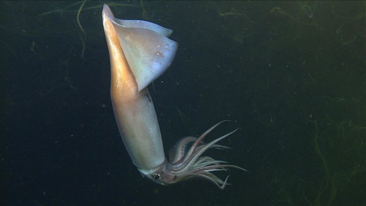 Glowing Deep-Sea Squid Have a Complex Form of Communication. New Evidence Suggests in 2020   Deep sea squid. Pelagic zone. Deep sea fishing