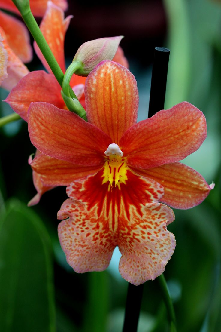 Phalaenopsis Orchidee, foto Leen de Ruiter
