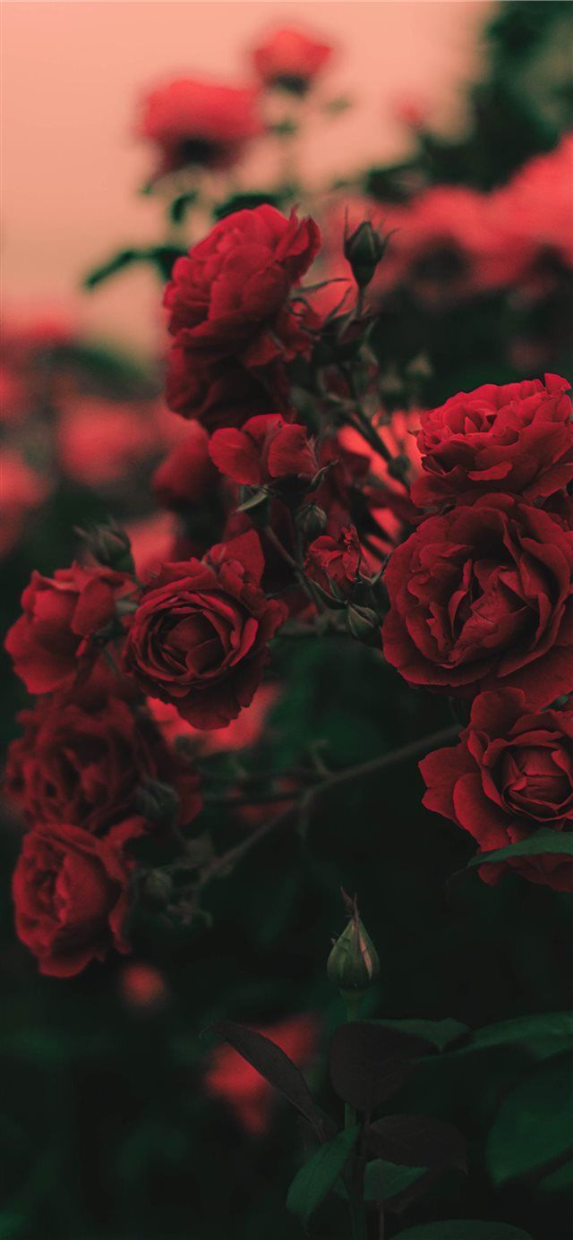 Iphone 11 Wallpaper Red Rose 4k Hd Download Free Hd Wallpaper Screensavers Red Wallpaper Rose Wallpaper Flower Wallpaper