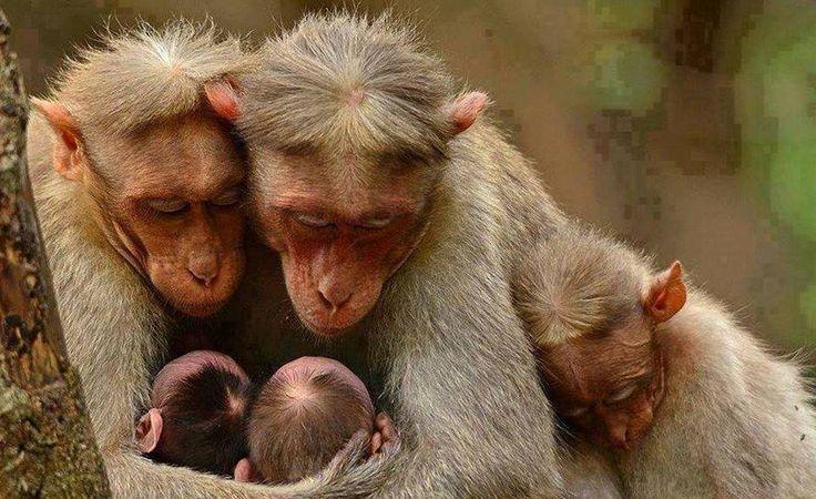 86 Melhores Imagens Sobre Família Com Br Imagens No: 25+ Melhores Ideias Sobre Fotos Engraçadas De Macacos No