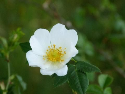 Field Rose the trailing rose | The Nature of Dorset