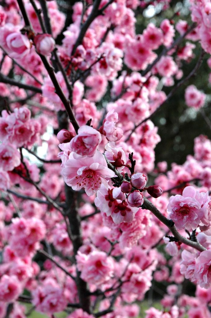 Cheery Trees Come With Options For Spring Being Alive Surprise The Color Pink Wet Grows In The Cold Doesn T Last Rooted In Dirt Looks Good Against Black Pink Blossom Blossom Pink