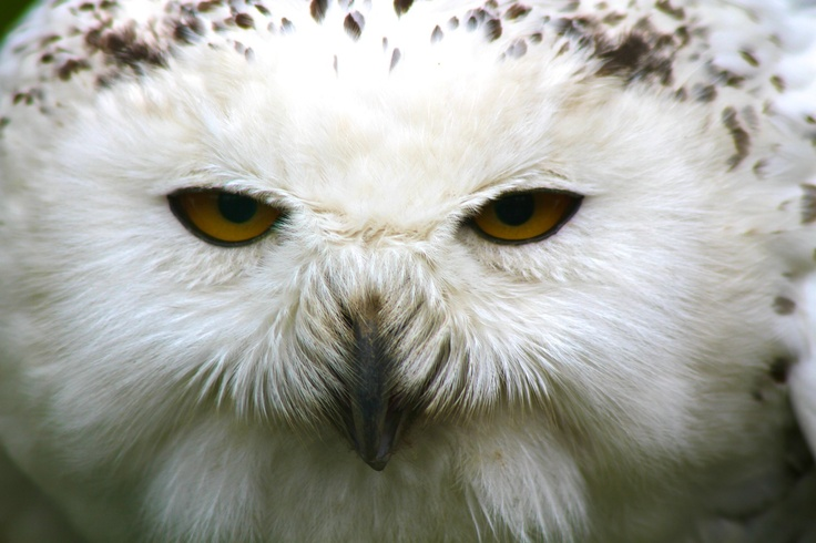 Shifty Eyed Owl  Up close at Dublin Zoo! By Paul Madden: Eye Owl, Shifti Eye, Dublin Zoos, Paul Madden