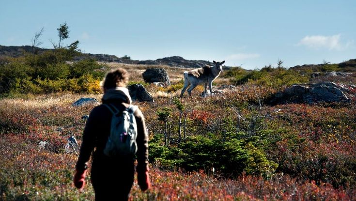 """You'll spot Caribou all over the Island munching on caribou moss and causing the closest thing Fogo Island has to a """"traffic jam"""" when crossing the road."""