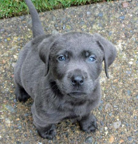 Ozzy the Labrador Retriever-I've never seen a gray lab before