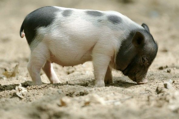 """New air travel rules could mean that pot-bellied pigs, miniature horses and monkeys could all be allowed to travel on planes if they offer passengers """"emotional support"""". Awww!!!"""