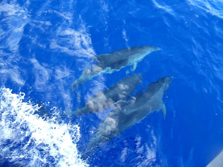 Dolphins playing with #Blu boat on the way to #Dia island! Travel with our #sailing boat and live the dream! sailingtheblu@gmail.com