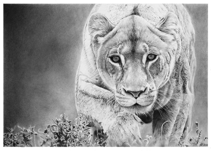The lion is the king, but the beauty of the lioness is matchless: a giant cat. Pencil on watercolor paper Fabriano artistico 300 gr, hotpressed-by francoclun