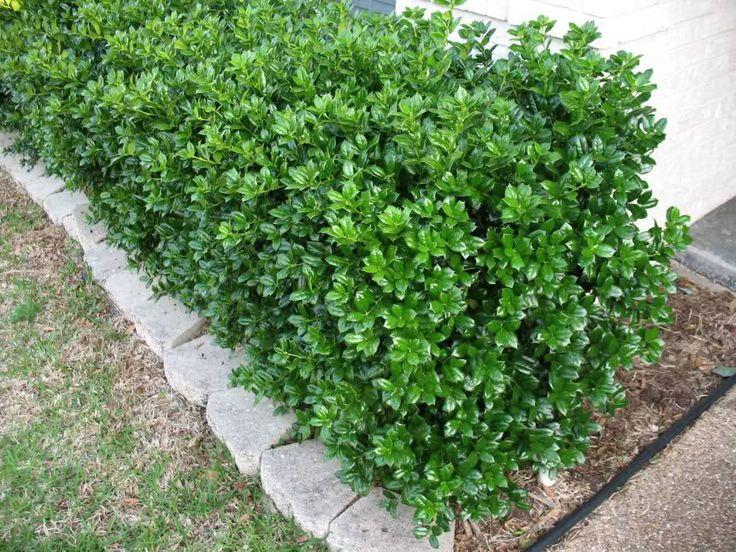 Dwarf Burford Holly - ilex cornuta 'dwarf burford' - evergreen shrub plantsfordallas.com #plantsfordallas