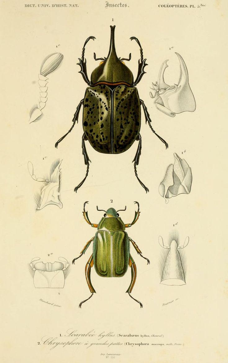 "Dessin couleur insectes d'après ""Dictionnaire universel d'histoire naturelle"" Atlas Zoologie Tome 2 reptiles et poissons par C. d'Orbigny - Paris - Coléoptères"