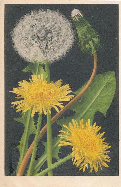 vintage postcard of a dandelion