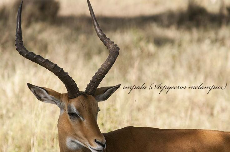 impala in the Serengeti National Park