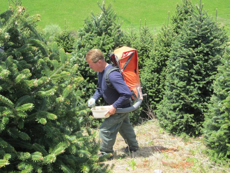 Real Christmas Trees Need Nutrients For Growth And A Deep Dark Green Fraser Fir Color Chris Christmas Tree Farm Fraser Fir Christmas Tree Real Christmas Tree