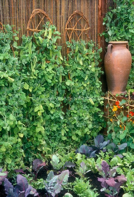 Peas Growing Upright On Wicker Supports Against Woven