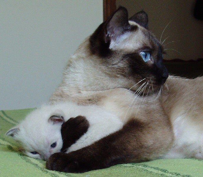 Надписи самая, прикольные картинки кошек сиамские близнецы